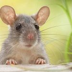 Rodent Control Adelaide