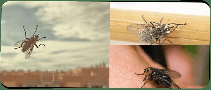 Flies Control Adelaide